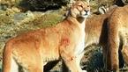 حمله ناکام شیرهای کوهی برای شکار + فیلم