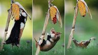 تقلای دیدنی همستر شکمو برای خوردن ذرت در مزرعه+ تصاویر دیدنی