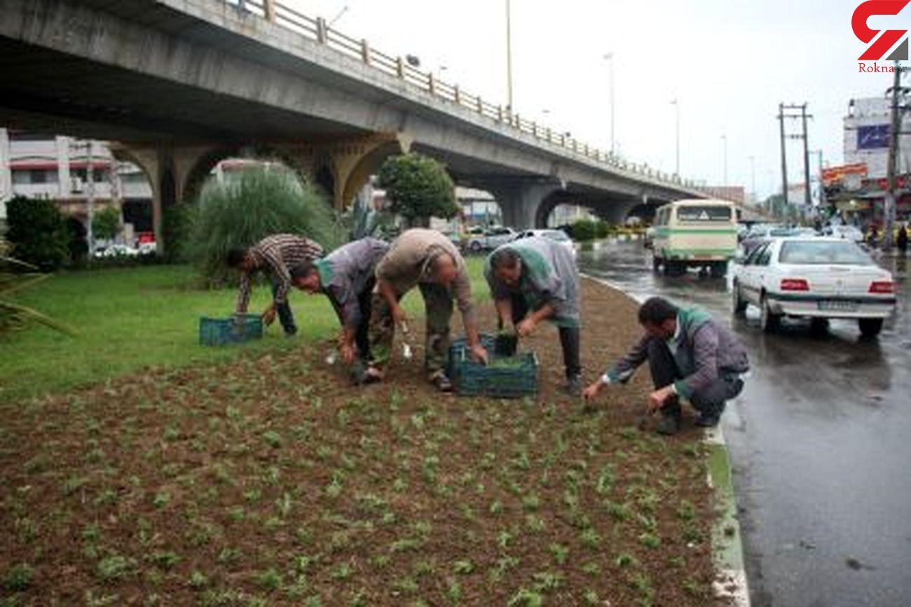 توزیع بیش از 600 هزاربوته گل فصلی تابستانه در فضاهای سبز شهر بابل
