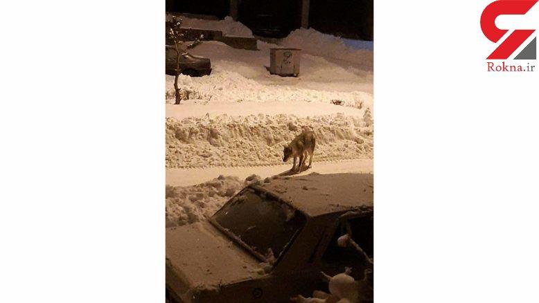 عکس یک گرگ گرسنه وسط شهر خلخال + جزییات