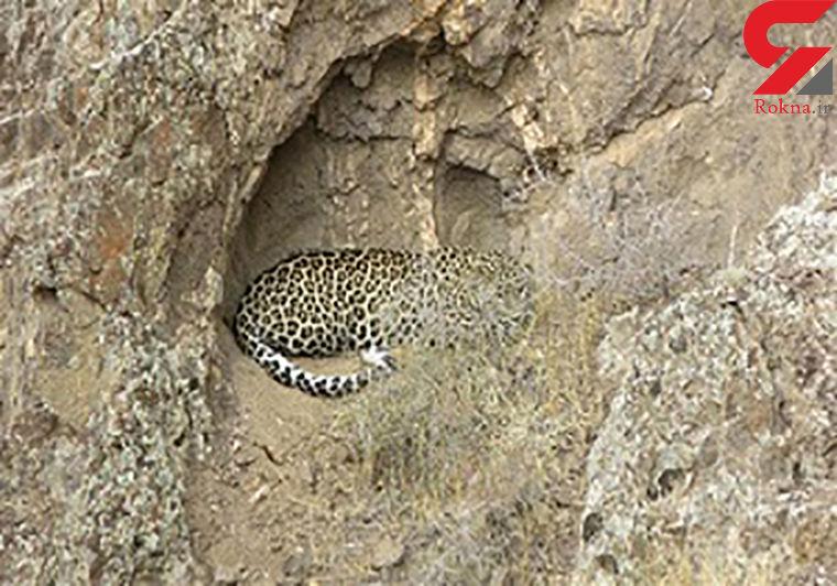 ثبت تصویر پلنگ ایرانی در خلخال