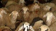 کشف 30 رأس گوسفند قاچاق در کازورن