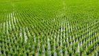 کاشت برنج عامل اصلی گرمایش زمین !