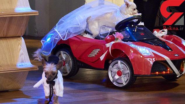جشن عروسی جنجالی 2 سگ یک میلیاردر + تصاویر