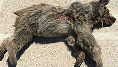 یک قلاده خرس قهوهای براثر برخورد با خودرو تلف شد