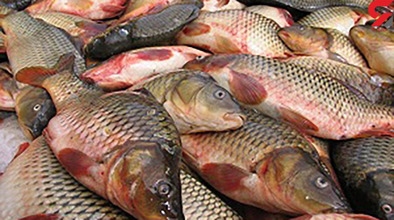 بیش از 4 تن ماهی غیرقابل مصرف در دزفول معدوم شد