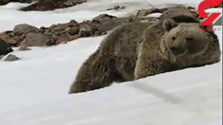 فیلم بزرگترین خرس وحشی در الموت قزوین / روستایی ها وحشت کردند + جزییات