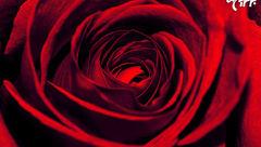 هر رنگ گل رز چه معنایی دارد؟