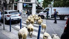 پاریس در تسخیر گوسفندان +عکس