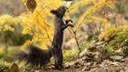سنجاب رقاص عکاسان را شگفت زده کرد+عکس