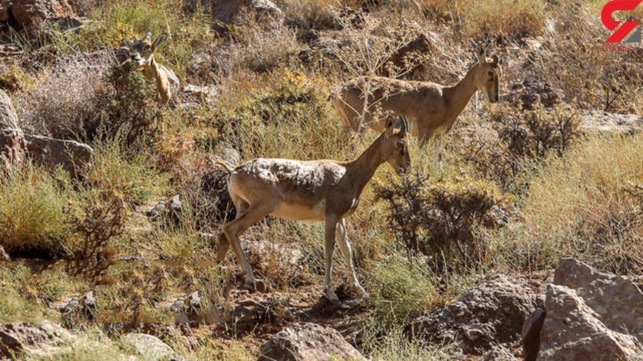 آمار حیات وحش تهران نسبت به سال گذشته افزایش یافته است