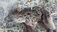 مرگ خونین توله خرس در بلده نور + عکس تلخ