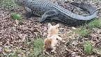 این سگ موفق شد تمساح را فراری دهد + فیلم