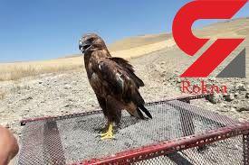 نجات یک بهله پرنده شکاری در روستای فایندر خواف