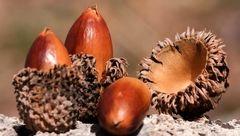 درمان بواسیر با یک میوه درختی
