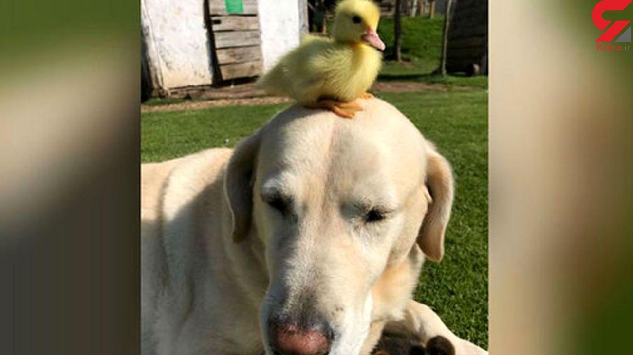 این سگ جای خالی مادر را برای اردک پر کرد+ فیلم