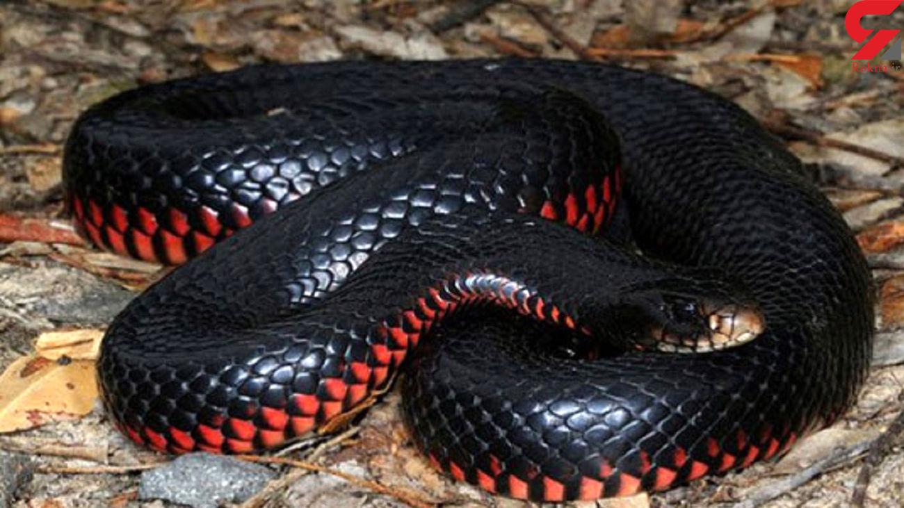 خطر مرگ با کدام حیوانات استرالیا ؟ + عکس