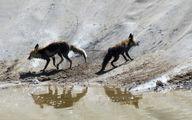 مرگ تلخ روباه در استخر / در خراسان رضوی رخ داد