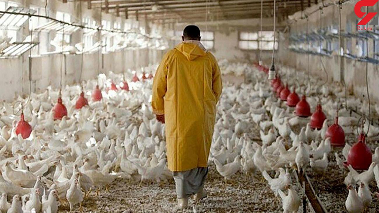 پشت پرده کشتار مرغ های تریاکی در کشور !