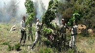 اولین عکس از مزرعه ماری جوانا در جنگل نکا / پلیس انتشار داد