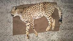 کشته شدن یک یوز ماده جوان در جاجرم + عکس