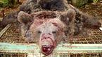تصویری تلخ از شکار یک خرس در بوانات + عکس