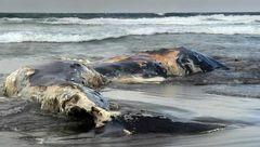 کشف یک نهنگ مرده در فیلیپین با 40 گیلوگرم کیسه پلاستیکی در معده+عکس