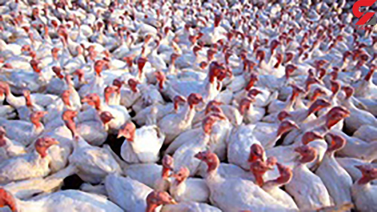 کشف 230 قطعه بوقلمون فاقد مجوز حمل در شهرستان سلطانیه