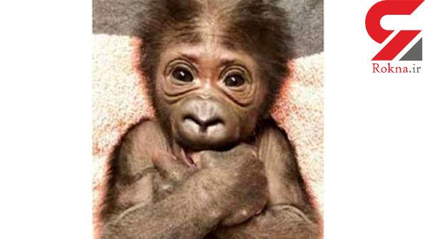 تولد بچه گوریل نادر در فلوریدا