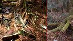 جنگلی با ارواح نا آرام / اینجا چرا جنگل خودکشی نامیده می شود+ عکس