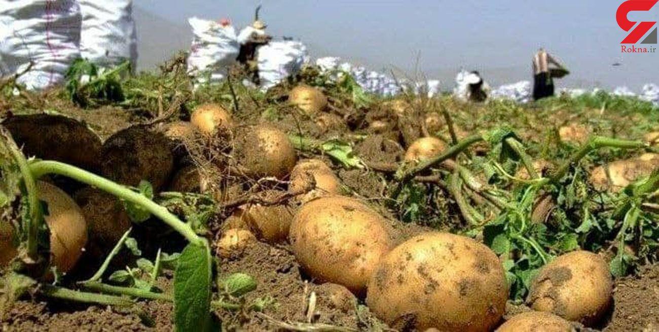 برداشت سیب زمینی از مزارع قروه  باپیش بینی برداشت ۱۴۰ هزارتن آغاز شد