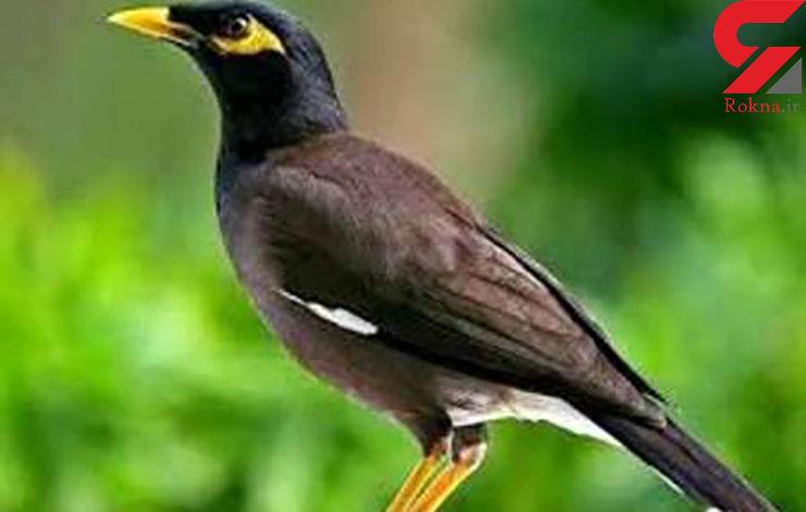 400 عدد مرغ مینای قاچاق در خراسان جنوبی کشف شد