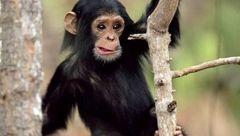 انسانی که الگوی رفتاری اش شامپانزه است