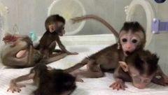 میمون های شبیه سازی شده برای آزمایش درمان بیماری ها متولد شدند