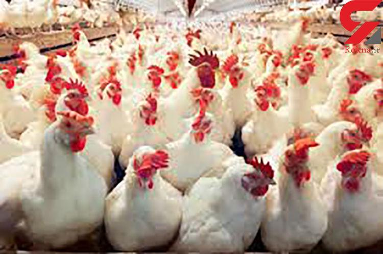 راز هولناک 10 هزار لاشه مرغ در دامغان