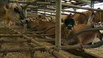 این گاوها لاکچری زندگی می کنند / ماساژور و تشک های آبی برای زندگی رویایی گاوها + عکس