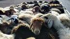 توقیف کامیون با 54 راس گوسفند قاچاق در کرمان