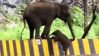 صحنه جالب کمک فیل به بچه اش برای بالارفتن از جدول! + فیلم