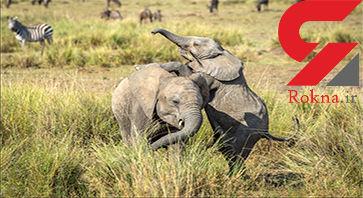 بازیگوشی بچه فیل