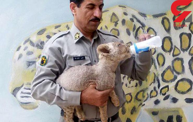 پیدا شدن توله شیر درصندوق عقب یک خودرو درسیستان بلوچستان+عکس