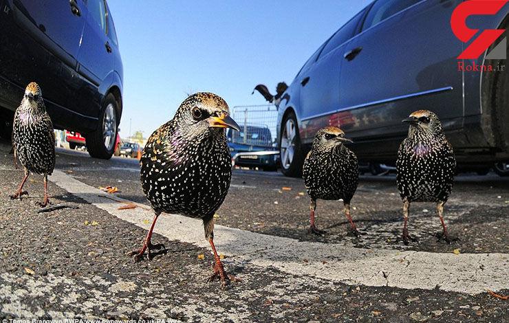 پرسههای پرندگان در خیابانهای لندن