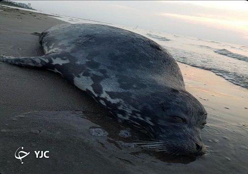 کشف لاشه تنها پستاندار دریای خزر + تصاویر