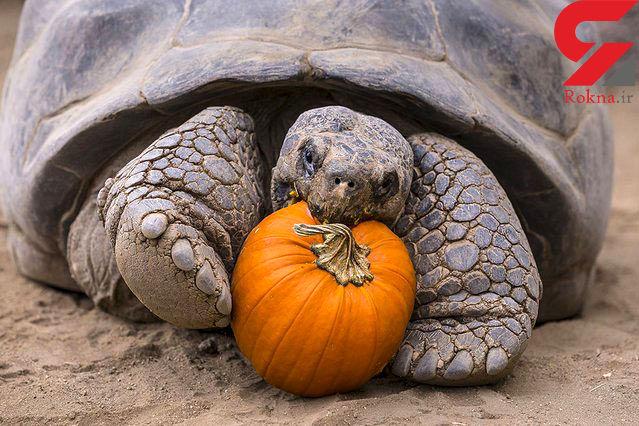 جشن هالووین برای لاکپشت 130 ساله
