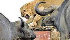 شیر در محاصره بوفالوها