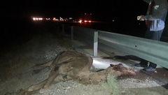 یک شتر در جاده گرمسار - قم 9 سرنشین دو خودرو را مجروح کرد +عکس