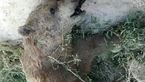 کشف جسد خرس قهوها ای در غرب خراسان شمالی + عکس