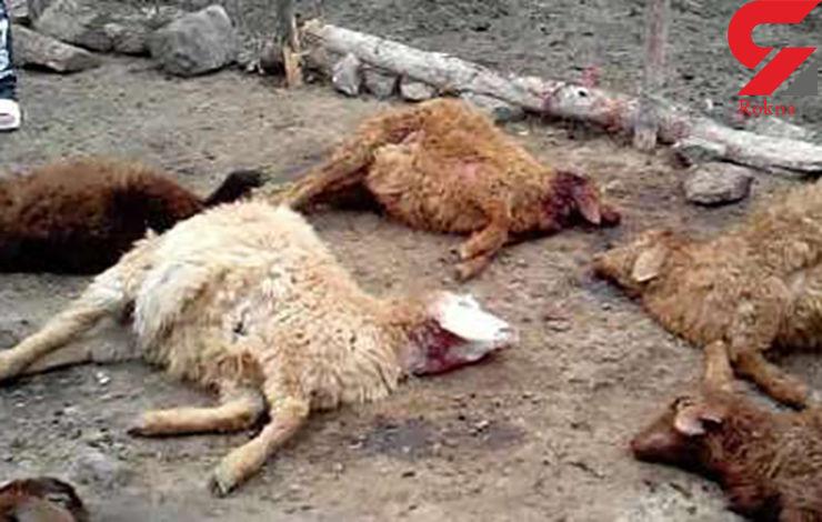 گرگها 33 راس گوسفند و بز را درطالقان دریدند