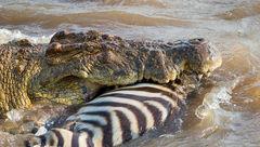 لحظه شکار یک گورخر به دست تمساح +عکس