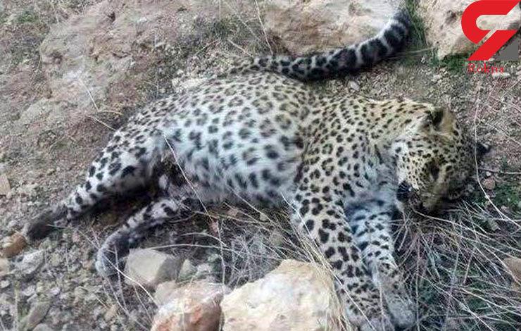 مرگ مرموز  پلنگ کمیاب در پارک ملی دنا + عکس