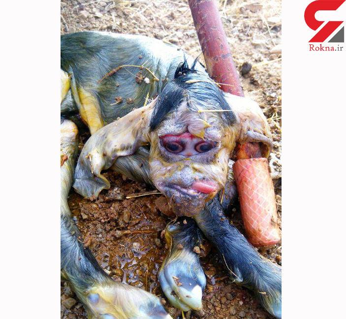 تولدبزغاله میمون نما در بوکان +عکس